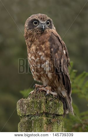 A boobook owl sitting patiently perched on a post looking forward