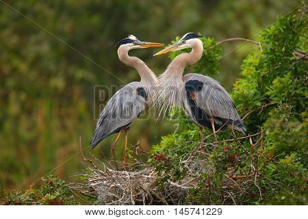 Great Blue Herons Standing In The Nest. It Is The Largest North American Heron.