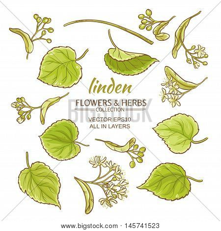 linden flowers and leaves vector set on white background