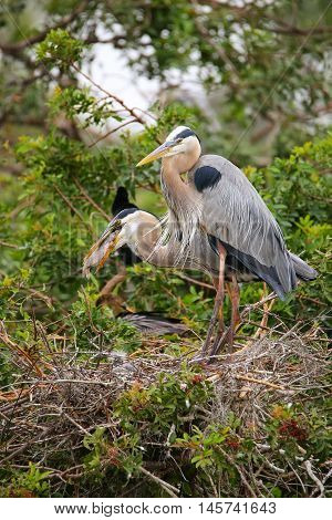 Great Blue Herons In The Nest Eaing Fish. It Is The Largest North American Heron.