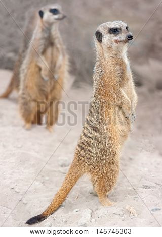 Three alert meercats are on the lookout for potential threats or prey.