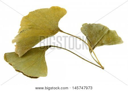 Dried Ginkgo biloba leaves in yellow green shade, isolated on white background. It has various uses in traditional medicine.