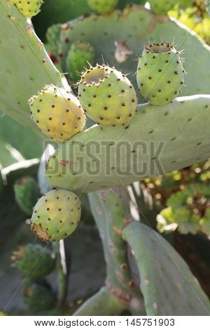 Tuna Cactus Fruit