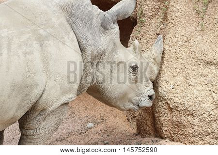 a white rhino sharpens his mighty horn against a rock