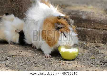 a guinea pig eating a green apple