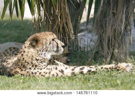 an african cheetah lying in the shade of a plant