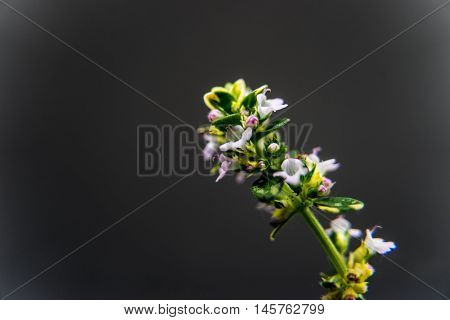 Thyme is an evergreen herb with culinary, medicinal, and ornamental uses.