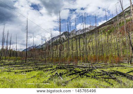 Prescribed Burn In A Boreal Forest - Banff National Park