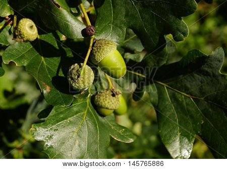 Acorns on an oak tree in summer