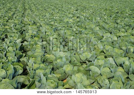 Vegetable field with cabbage plants in summer