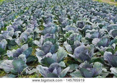 Cabbage plants on a cabbage field in summmer