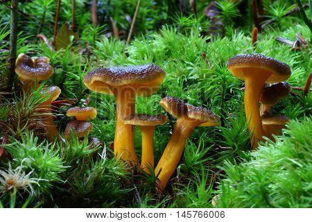fungi, mushroom, cantharellus tubaeformis, forest, edible, green, yellow, moss