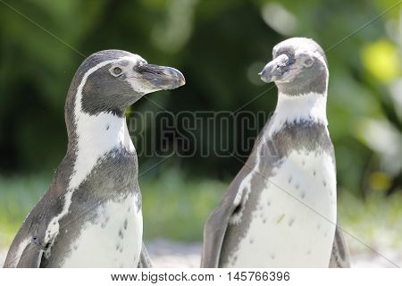two penguins start to the water for swimming