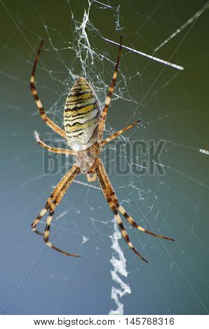 Closeup Photography Of Striped Wasp Spider