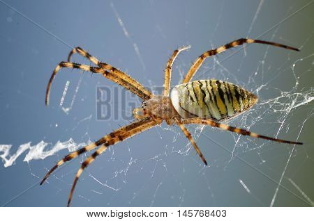 Macro Photography Of Striped Wasp Spider