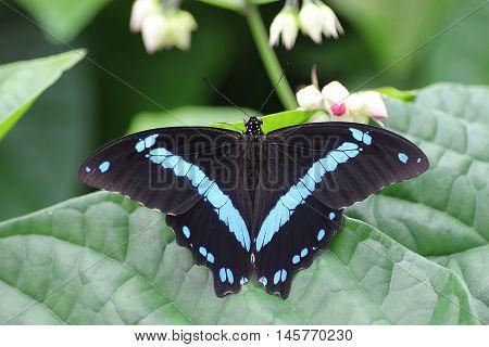 papilio nireus, butterfly, blue, black, africa, beauty, nature, wild