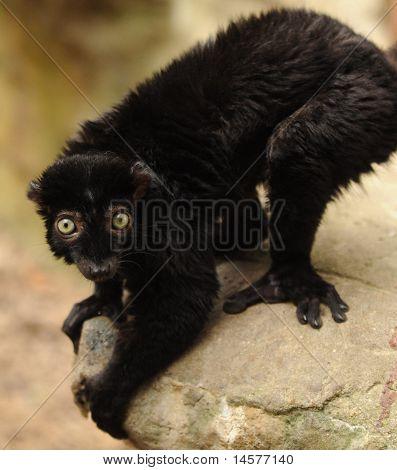 Lémur negro de ojos de azules animales de zoológico
