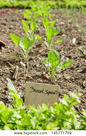 Brussel spouts grow in a vegetable garden