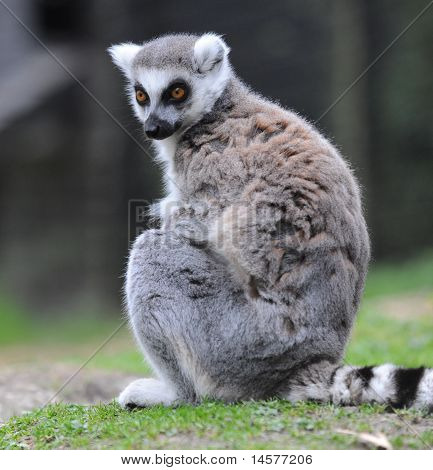 Suricata animales de zoológico