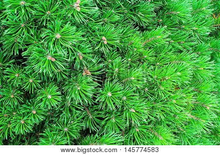 Branches of mountain pine. Mountain Pine - natural closeup view. Bright green Dwarf Pine. Dwarf conifer pine tree - closeup view.