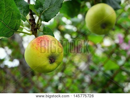 Green apple with red spot on apple-tree branch on blur background