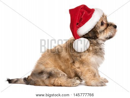 Side view of a cute sitting Bichon Havanese puppy dog in Christmas hat - Isolated on a white background