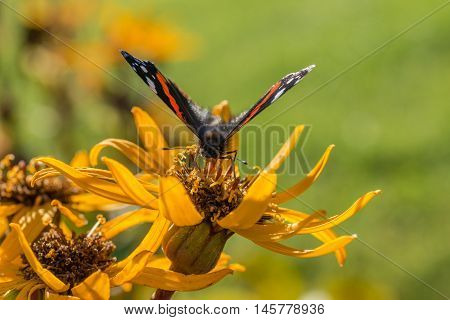 Red Admiral (Vanessa atalanta) on Ligularia dentata (summer ragwort or leopardplant