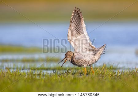 Male Common Redshank Displaying While Standing In Wetland