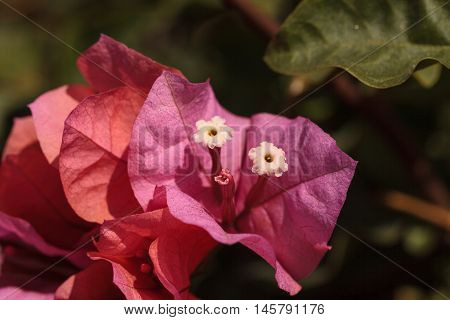 Pink flowers on a Bougainvillea bush vine grows and is prolific. This thorny ornamental vine is found in South America, from Brazil to Peru.