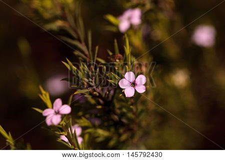 Tiny pink flowers on a Leptospermum Tea Tree bush growing in a botanical garden in summer