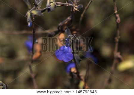 Small purple blue salvia flower blooms in a Southern California garden