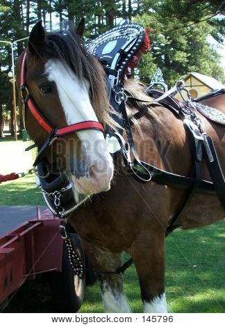 Animal - Clydesdale Horse