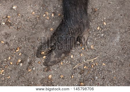 Hoof of the wild boar (Sus scrofa). Wildlife animal.
