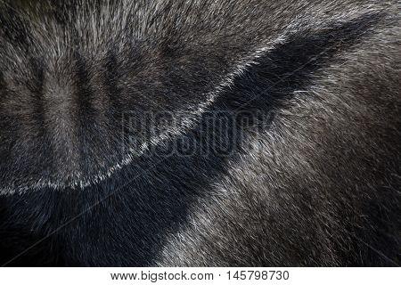 Giant anteater (Myrmecophaga tridactyla), also known as the ant bear. Skin texture. Wildlife animal.