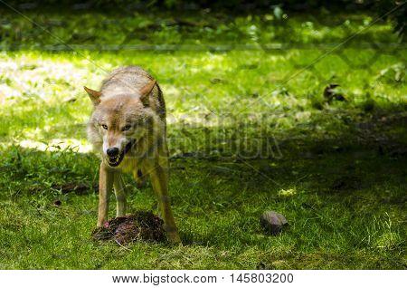 A Timber wolf in captivity in Werner Freund wolfpark, Merzig, Germany