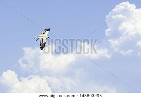A prey bird flying in semi-captivity near haut-koenigsbourg castle, alsace, France
