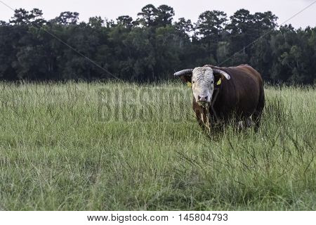 Horned Hereford bull standing in a pastuer of tall grass looking at the camera with blank area to the left