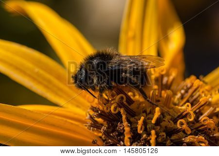 the cuckoo bumblebee  on a leopard plant