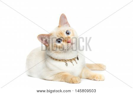 Beautiful Breed Mekong Bobtail Cat with Blue eyes and Chain, Lying on Isolated White Background, Color-point Fur