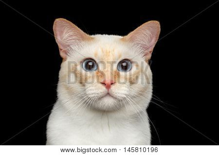 Close-up Portrait of Fantastic Breed Mekong Bobtail Male Cat with Blue eyes, Isolated Black Background, Color-point Fur