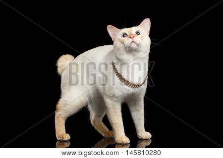 Fantastic Breed Mekong Bobtail Male Cat with Blue eyes, Standing and Curious Looking up, Isolated Black Background, Color-point Fur without Tail