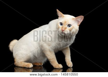 Fantastic Breed Mekong Bobtail Male Cat with Blue eyes, Curious Looking, Isolated Black Background, Color-point Fur without Tail