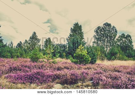 Beautiful blooming heather in autumn forest, landscape, Poland