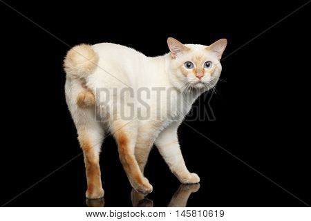 Fantastic Breed Mekong Bobtail Male Cat with Blue eyes, Posing and Curious Looking Back, Isolated Black Background, Color-point Fur without Tail