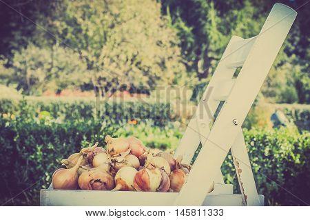 Ripe onions, vegetables harvest, autumn garden, vintage photo.