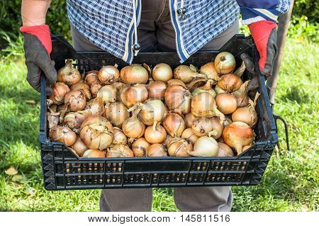 Heap of onions in the basket in hands of farmer. Autumn harvest of vegetables.