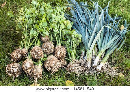 Autumn vegetables harvest. Leek and celery on green grass in the garden.