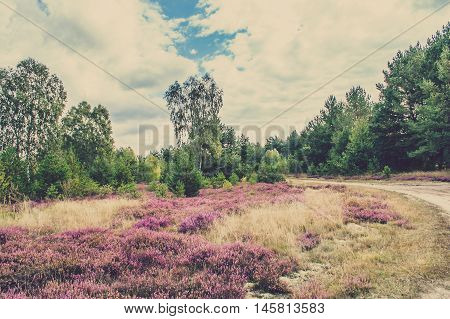 Blooming heather in the forest, countryside autumn landscape, Poland