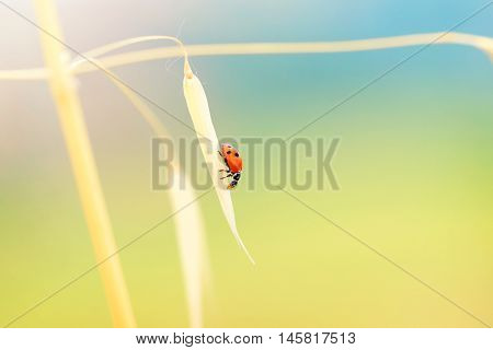 Lady beetle sitting on the gold dry wheat stem on bright sunny day, beautiful nature of countryside, autumn harvest season