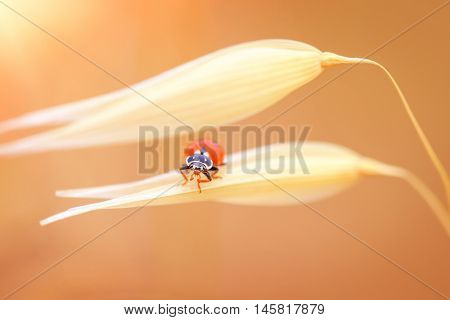 Ladybug on the wheat, cute little red ladybird sitting on the gold dry ripe wheat stem over sunset background, autumn harvest season